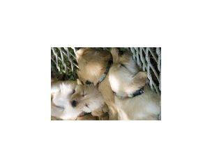 Lupine kis kutyáknak (9 kg-ig)